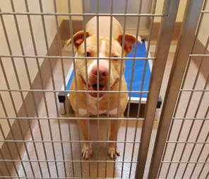 pit bull darby homeless year