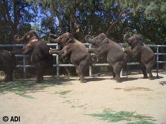 Elephants being trainer to perform