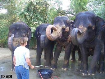 Woman threatening captive elephants with a bullhook