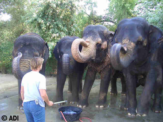 Woman threatening captive elephants with a bullhook