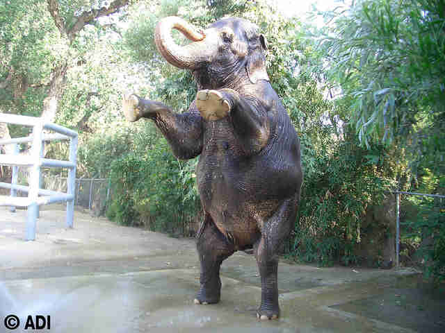 Elephant trained to stand on his hind legs