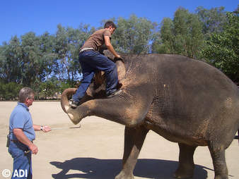 People training an elephant for the entertainment industry