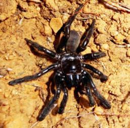 world oldest spider australia