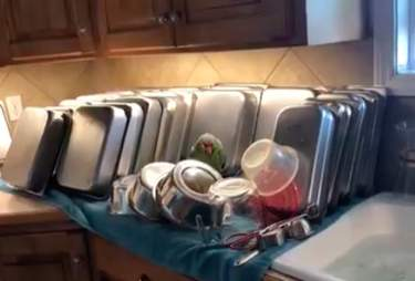 Senior rescue parrot asleep among the dishes
