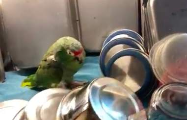 Sleepy senior rescue parrot asleep among the dishes