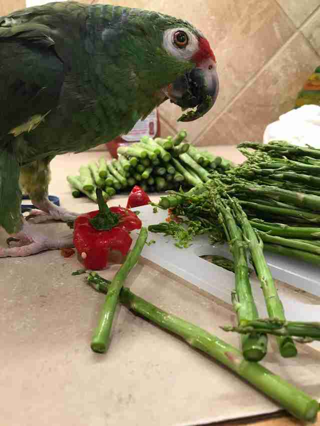 Senior rescue parrot with asparagus