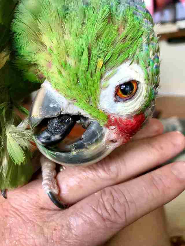 Senior parrot snuggling with rescuer