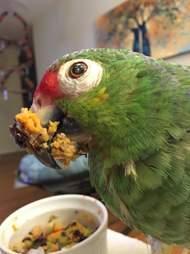Senior rescue parrot eating dinner