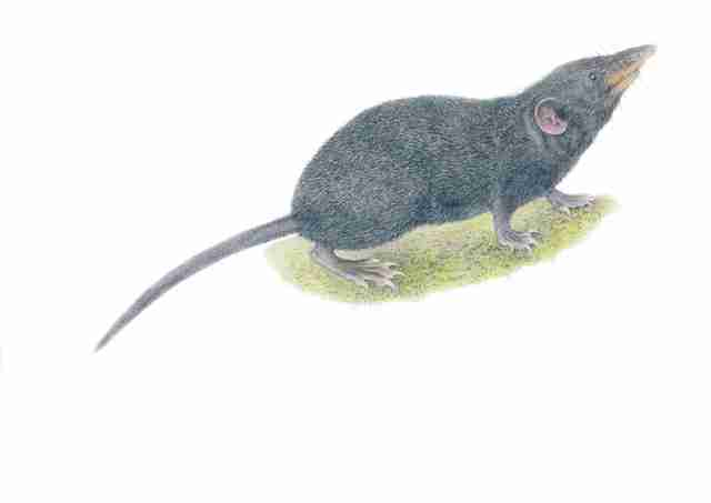 Newly discovered Palawan moss shrew