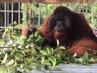 Orangutan inside enclosure at rescue center