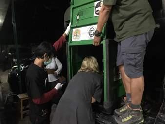 Rescuers moving sedated orangutan into travel container