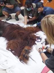 Rescue team with sedated orangutan
