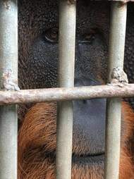 Male orangutan locked up in cage