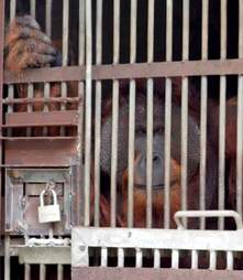 Large male adult orangutan locked up in cage