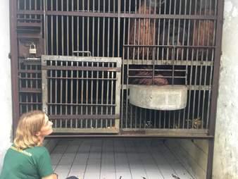 Woman looking at caged orangutan