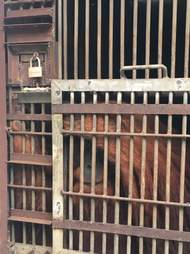 Large male orangutan locked up in cage
