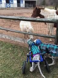 great dane dogs visit horses