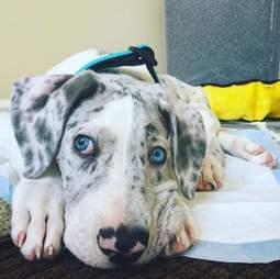 great dane puppy quinn