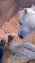 Neglected pony with overgrown hooves in Spain
