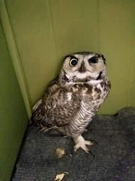 owl rescue arizona
