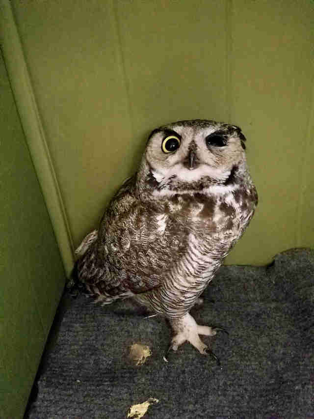 owl rescue arizona