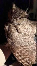 owl rescue arizonia