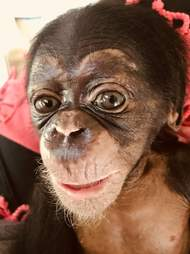 Orphaned chimp saved from trafficker