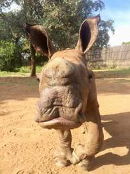 Orphaned rhino saved after mom was killed by poachers