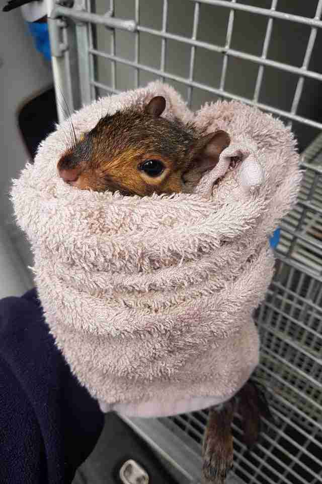 squirrel rescue toilet england