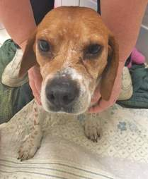 Person cradling rescued beagle