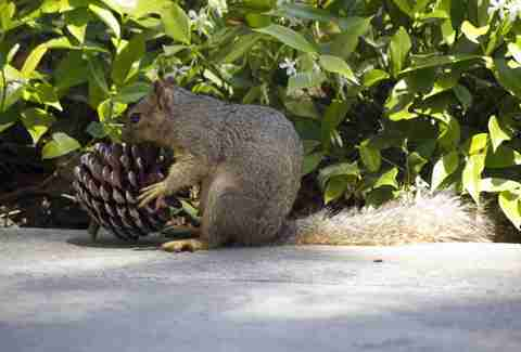 Squirrel with pine cone in its mouth
