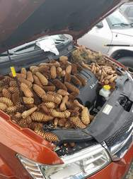 Engine bay of car filled with pine cones