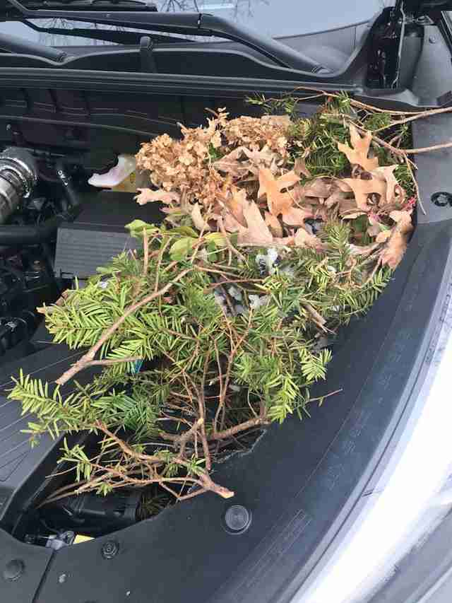 A squirrel nest inside the hood of a car