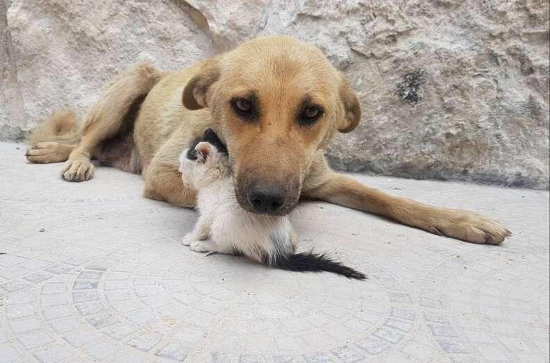 Dog cuddling with tiny kitten