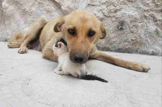 Dog cuddling with tiny kitten