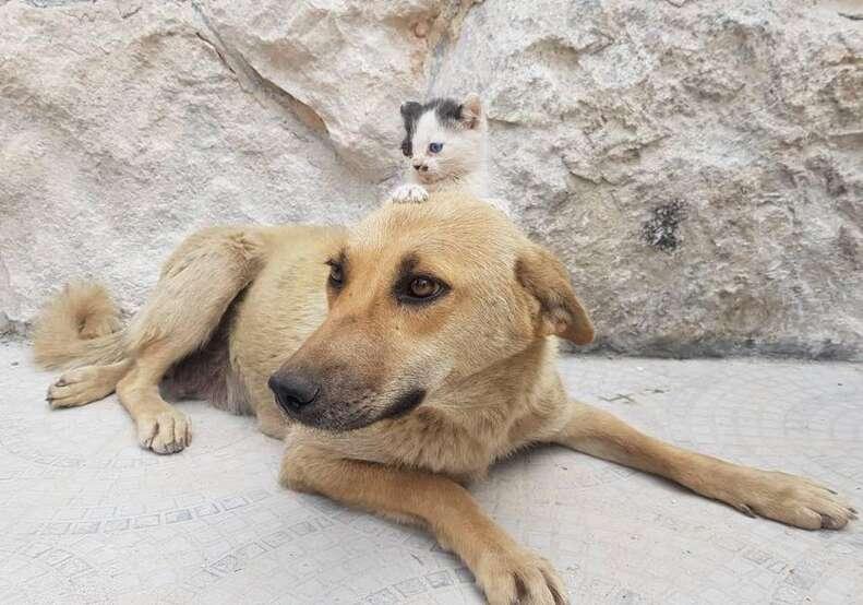 Kitten sitting on top of dog's head