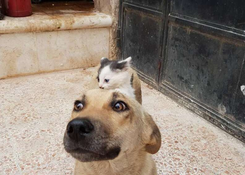 Tiny kitten crawling on top of dog