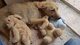 Stray dog sleeping with stuffed animals