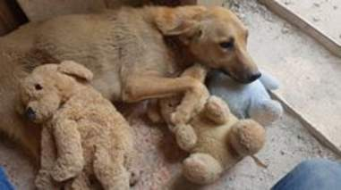 Stray dog sleeping with stuffed animals