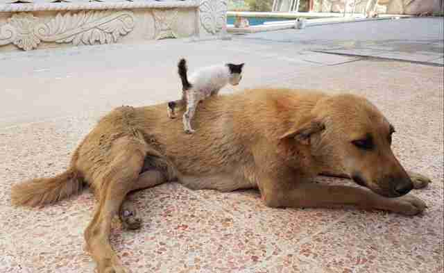 Kitten ready to climb up on dog