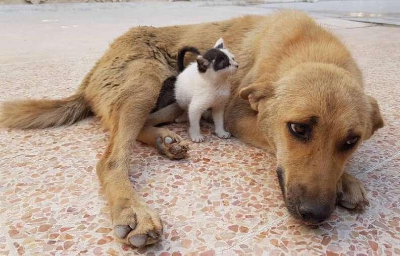 Little kitten sniffing big dog