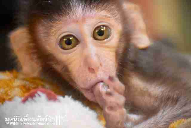 Hungry 'pet' macaque arrives at rescue center in Thailand