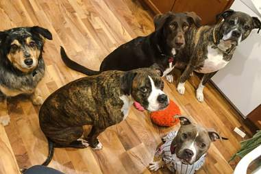 Eliza the pit bull with other rescue dogs