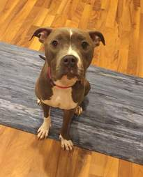 Lady Eliza the pit bull in her foster home