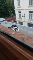 cat who loves playing on the roof playing hide and seek to come back inside