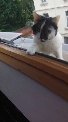 cat who loves playing on the roof plays hide and seek to come back inside