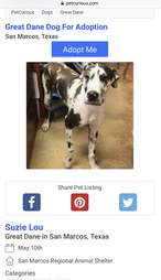 Lucy the Great Dane's animal shelter photo