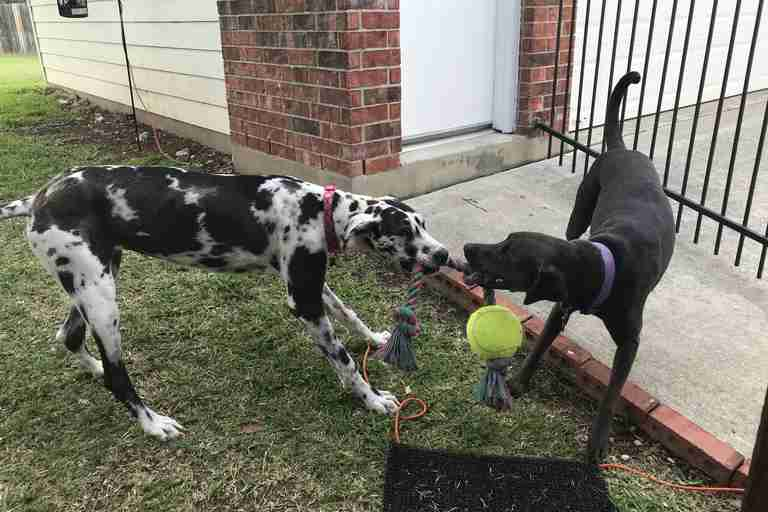 Rescue dogs Lucy and Rosie play in San Antonio, Texas