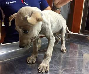 Person holding head of emaciated puppy