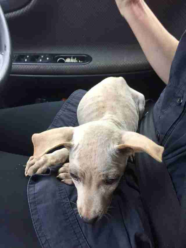 Woman Rescues Skinny Scared Puppy Off Street In Thailand The Dodo